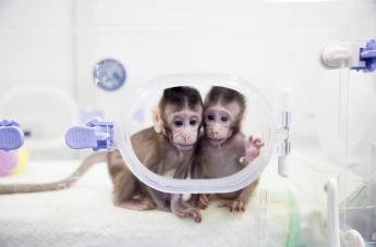clonazione delle scimmie